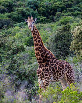 Giraffe, Nature, Animal, Safari, Africa, Wild
