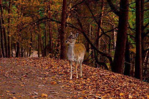 Roe Deer, Autumn, Wild, Animal, Forest, Nature, Cute