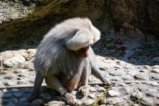 Monkey, Animal, Mammal, Animal World, Nature, Grey