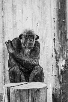 Monkey, Human, Zoo, Ape, Animal, Thoughtful
