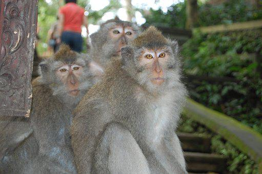 Bali, Monkeys, Monkey Family