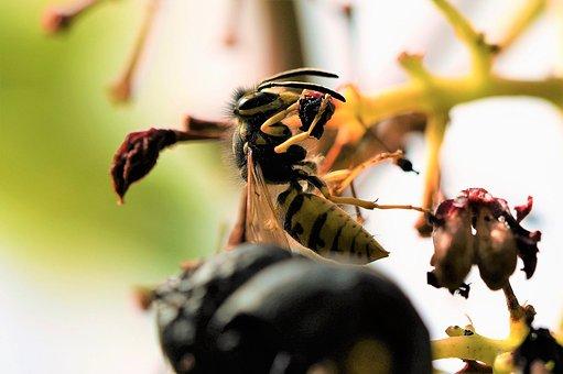 Short Head Wasp, Wasp, Sting, Beneficial, Hunter