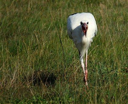 Stork, Eat, Bill, Rattle Stork, Bird, Eastern