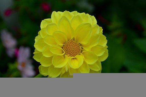 Dahlia, Flower, A Yellow Flower, Yellow, Flowers, Bloom