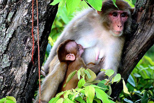 Mother, Monkey, Breastfeeding, Baby, Mammal, Primate