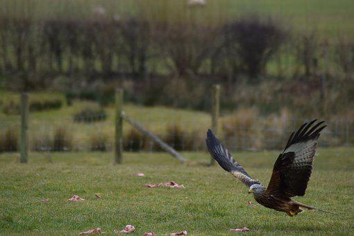 Red Kite, Raptor, Brecon, Wales, Nature, Wildlife