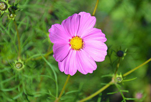 Flowers, Cosmea, Summer, Garden, Flower, Plant, Nature
