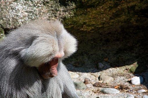 Monkey, Grey, Animal, Mammal, Creature, Animal World