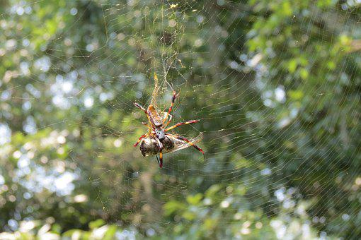 Spider, Spiders, Eating, Insect, Web, Nature, Creepy