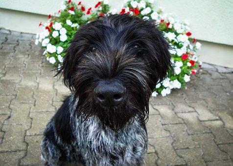 Dog, Black Dog, German Wire Hair, Hunting Dog