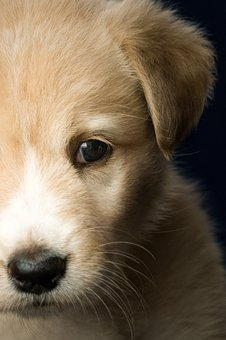 Animal, Puppy, Dog, Labrador, Light Brown, Pet