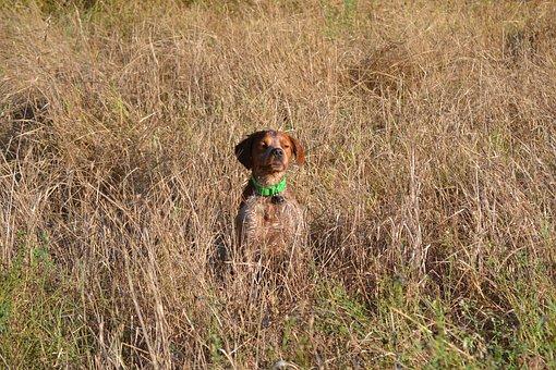Hunting, Dog, Breton, Epagneul Breton, Hunt