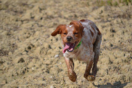 Epagneul Breton, Hunting, Breton, Dog