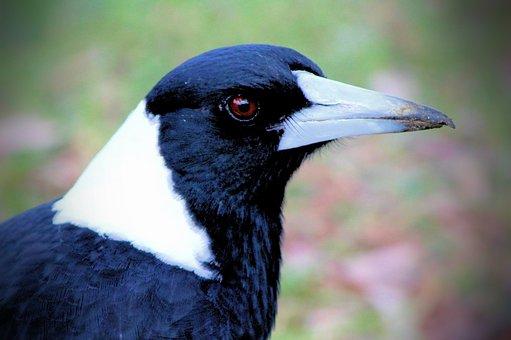 Magpie, Australia, Birds, Wildlife, Eye, Feathers