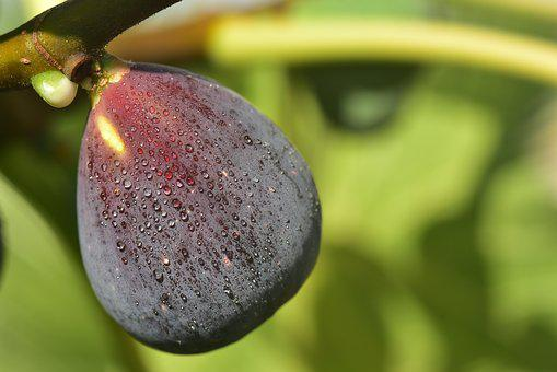 Fig, Blue, Ripe, Fig Tree, Close Up, Delicious, Eat