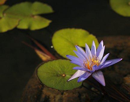 Flower, Water, Pond, Lotus, Purple, Nature, Floating