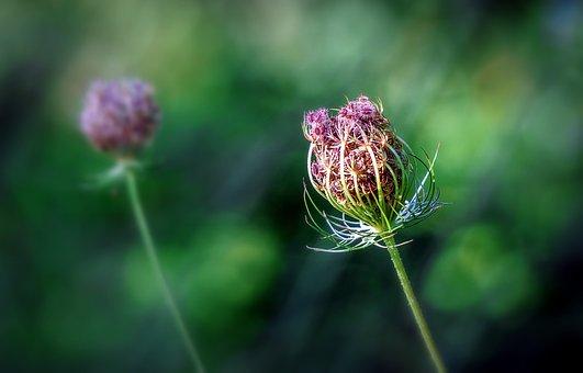 Plants, Botany, Cotton Thistle, Flora, Flower