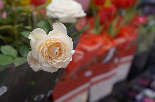 Flower, Rosa, White Rose, Nature, Romantic, Plant