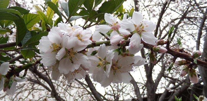 Almond Tree, Flower, Flowering, Tree, Flowers, Nature
