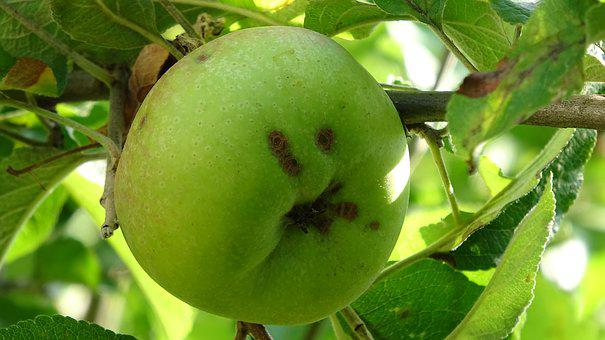 Fruit, Green, Fresh, Healthy, Food, Nature, Summer