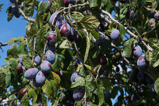 Plums, Fruit, Fruits, Tree, Two, Branch, Harvest, Ripe