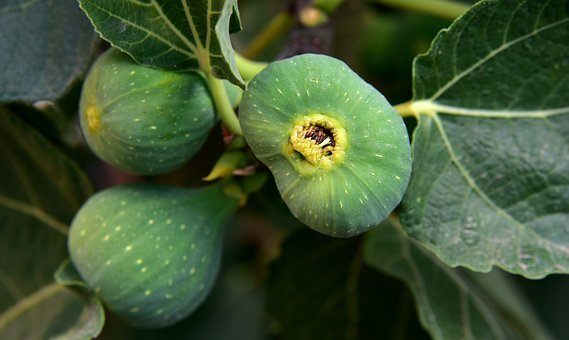 Figs, Green, Fruit, Eat, Nature, Food, Tree, Delicious