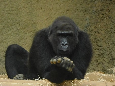 Gorilla, Zoo, Monkey, Ape, Animal, Primate, Human-like