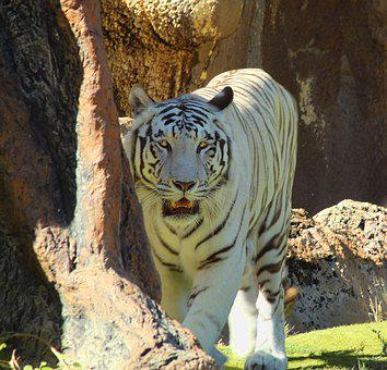 Tiger, Hunts, Dangerous, Threatening, White, Zoo