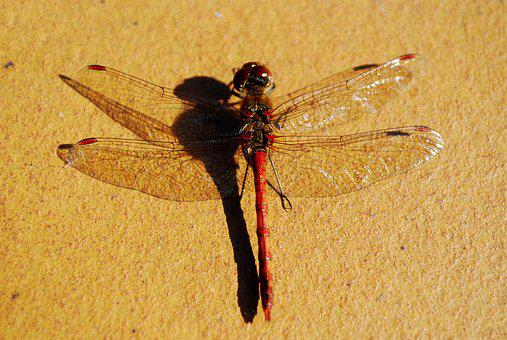 Large Dragonfly From Above, Insect, Wings Spread