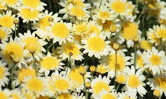 Marguerite Daisies, Paris Daisies, Spring, Flowers