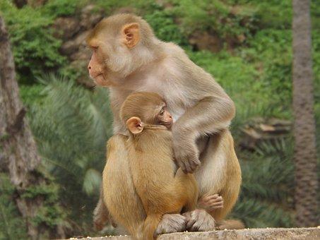 Monkey, Animal, Mother, Love, Wildlife, Nature, Bundi