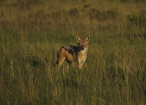 Jackal, Morning, Sun, Pilanesberg, National, Park