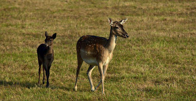 Fallow Deer, Female, Young Animal, Animal, Nature