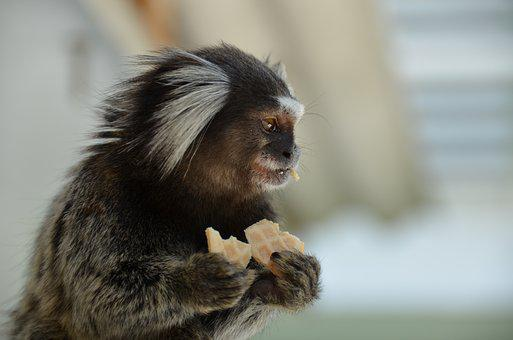 Monkey, Marmoset, Animal, Beautiful, Nature, Mammal