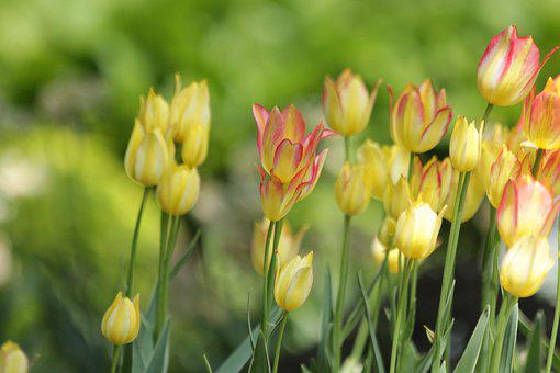 Tulips, Flowers, Nature, Bloom, Garden, Bright Colors