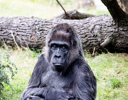 Gorilla, Animal, Mammal, Monkey, Primate, Female, Old