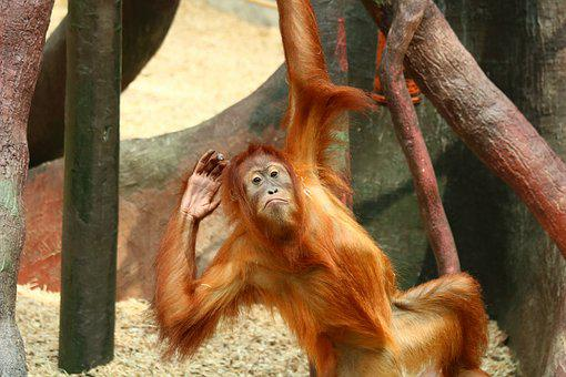 Orangutan, Monkey, Primate, Animal, Mammal, Hairy, Zoo