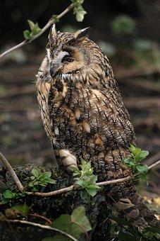 Owl, Owls, Bird, Animal, Nature, Animal World, Plumage