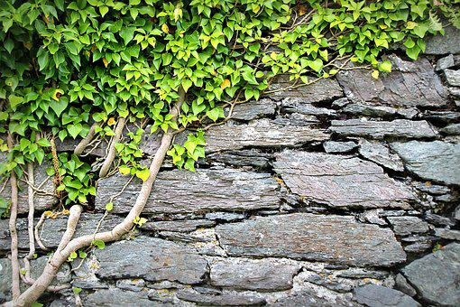 Texture, Wall, Ivy, Background, Pattern, Rau, Surface