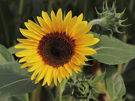 Flowers, Sunflower, Plant, Nature, Petals, Close Up
