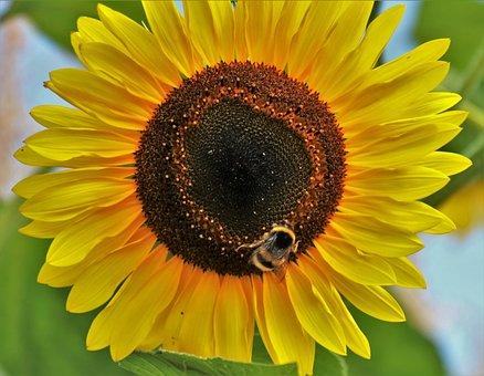 Yellow, Sunflower, Plant, Figure, Petals, Nature