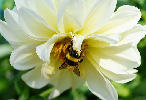 Bumblebee, Insect, Bee, Pollination, Pollen, Bloom