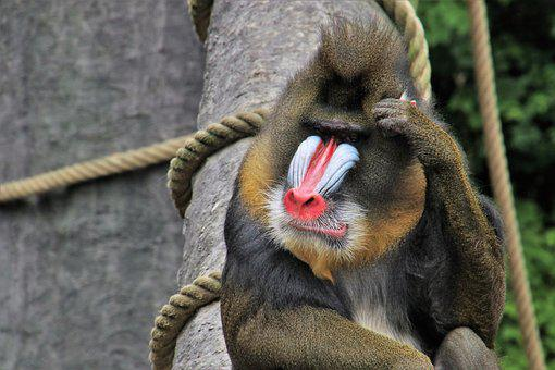 Baboon, Monkey, Think Positive, Animals, Sit, Red Nose