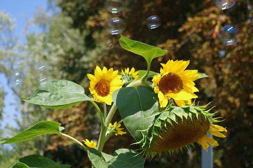 Sunflower, Soap Bubbles, Summer, Nature, Colorful