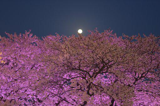 Cherryblossom, South Korea, Daegu, Moon, Moonlight