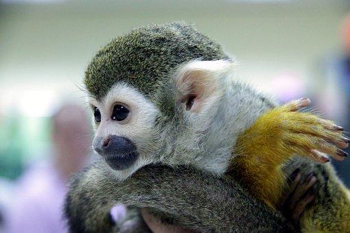 Squirrel Monkeys, Squirrel Monkey, Monkey, Primacy