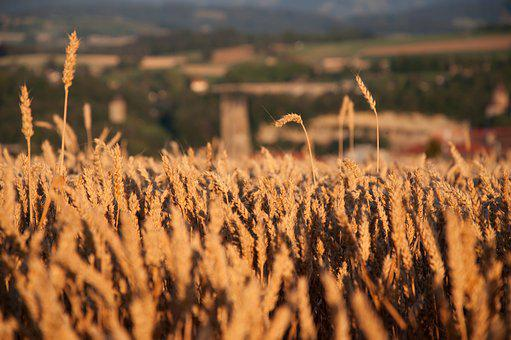 Field, Cereals, Nature, Wheat, Summer, Agriculture