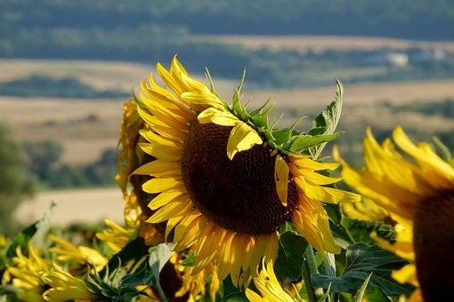 Summer, Sunflower, Joy, Sunflower Field, Flowers