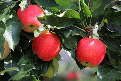 Three, Apple, Sad, Fruit, Fresh, Tasty, Apples