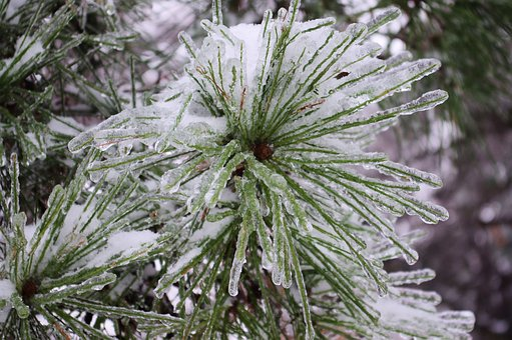 Iced Pine Needles, Ice, Snow, Storm, Destruction, Tree